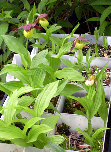Cypripedium seedlings approaching blooming size
